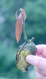 mangofrö som grott foto Eva Rönnblom
