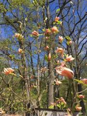 210518-magnolior-3